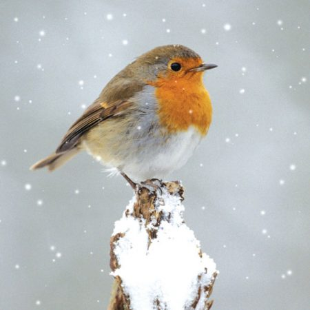 Robin on Branch Christmas cards